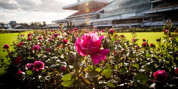 Flemington racecourse rose bushes